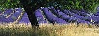 Provencal colour – purple and gold
