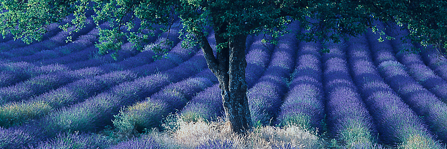 Lavender fields forever - Vaucluse, Provence